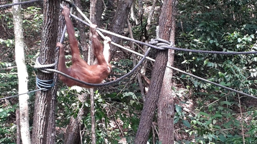 A young male Orang Utan relaxes during feeding at a rehabilitation center