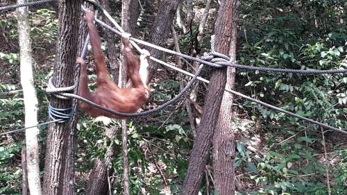 A young male Orang Utan relaxes during feeding at a rehabilitation center
