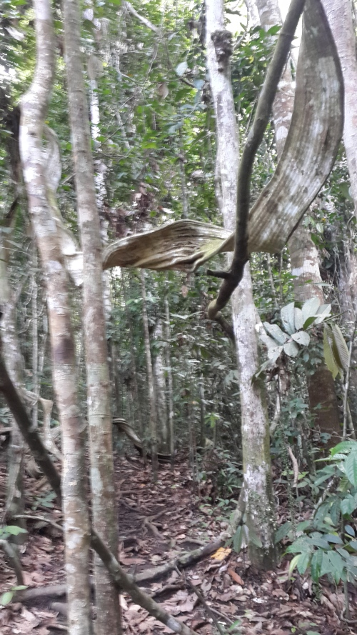Surprisingly, in a tropical jungle, the undergrowth is not dense. One can see the forest and the trees.