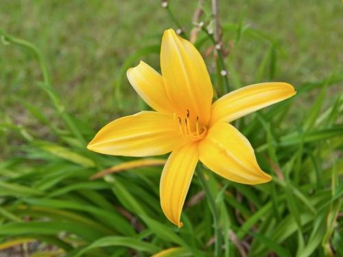 Hemerocallis_lilioasphodelus_flower