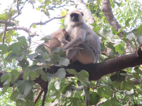 Watching over the cooking fires: Hanuman Langurs