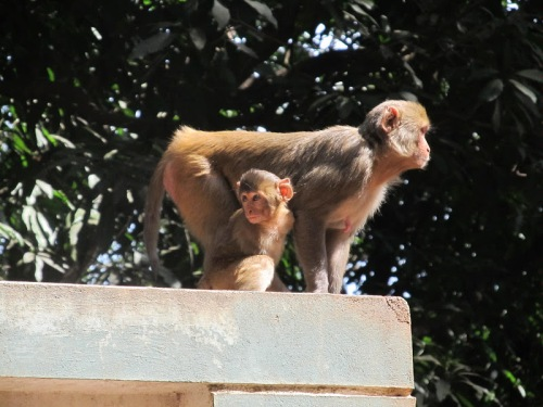 Not invited to the banquet: Rhesus Macaques