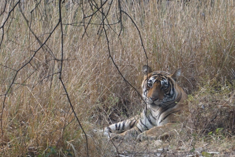 ...or Mala, or more prosaically, T-39, the mother of 3 healthy cubs