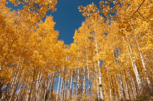 The Stupandous Pando trees of Utah, with a shared common root