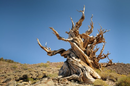 Bristlecone Pine in Ancient Bristlecone Pine Forest