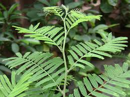 Prosopis spicigera, Shami tree, ayurvedic treatment for intestinal parasitic worms...