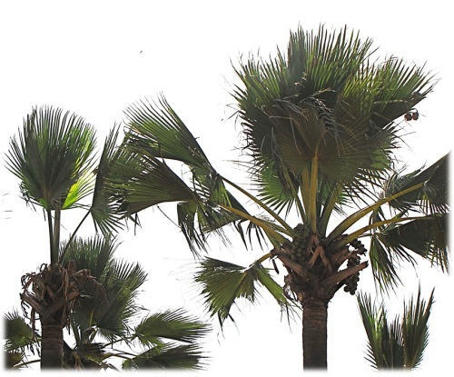 African palmyra palms. Image courtesy Wikimedia